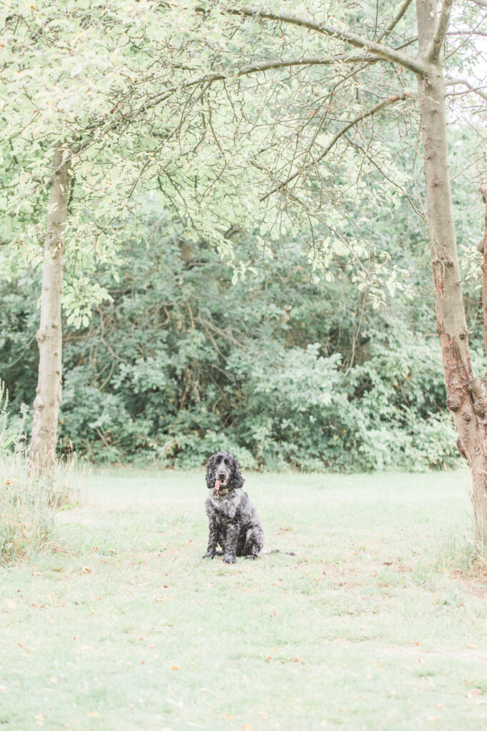 dog photographer, dog photography, pet photographer, pet photography, essex canine photographer, essex canine photographer, essex pet photographer, danbury country park, danbury park, danbury park photo shoot, photo shoot in the park, photo shoot in essex